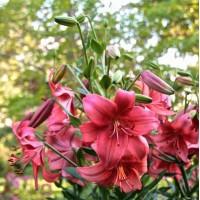 Тетраплоидные лилии