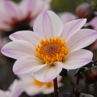 Георгина одноцветковая
