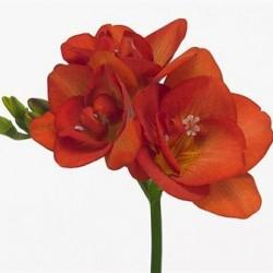 Фрезия Red Beauty