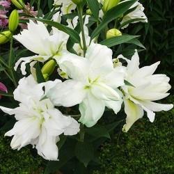 Лилия восточный гибрид махровый Lotus Beauty