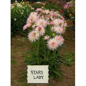Георгина бордюрная, кактусовая Stars Lady