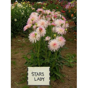 Георгина бордюрная, кактусовая Stars Lady , , 58.00 грн., 65431, , Георгина бордюрная, кактусовая