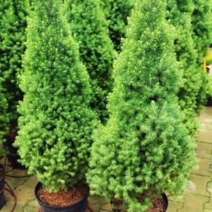 Ель сизая Alberta Conica , , 90.00 грн., 00106, , Декоративные деревя  - кустарники (Украина)
