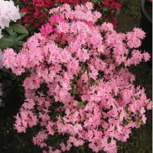 Азалия Kermesina rosea, , 78.00 грн., 0004, , Азалии японские
