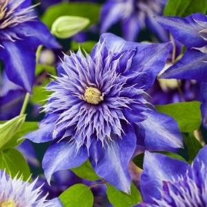 Клематис Multi Blue, , 110.00 грн., 00221, , Клематисы