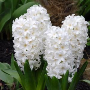 Гиацинт Top White, , 19.50 грн., 0024, , Гиацинты