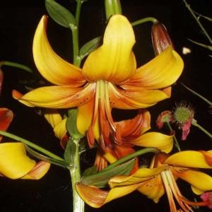 Лилия Chocolate Canary, , 29.00 грн., 0051, , Тигровые лилии