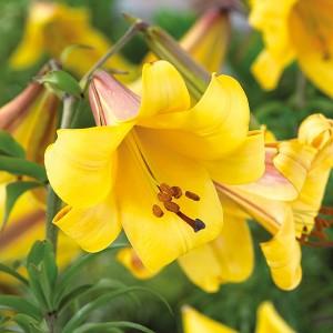 Лилия Golden Splendour, , 26.00 грн., 0052, , Трубчатые лилии