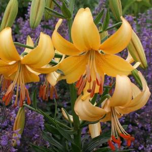 Лилия Pearl Stacey, , 24.00 грн., 0049, , Тетраплоидные лилии