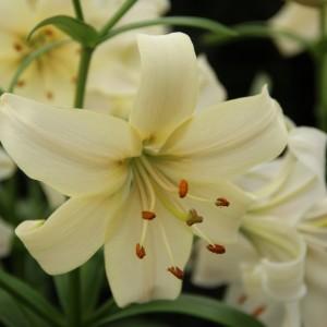 Тетраплоидная лилия Pearl White, , 36.30 грн., 0050, , Тетраплоидные лилии