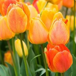 Тюльпан Beauty of Apeldoorn, , 11.00 грн., 0062, , Дарвиновы гибриды