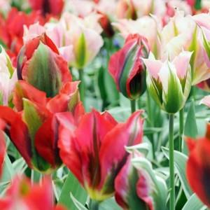 Тюльпан Esperanto, , 25.00 грн., 0122, , Зеленоцветные тюльпаны