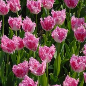 Тюльпан Huis ten Bosch, , 14.00 грн., 0098, , Бахромчатые