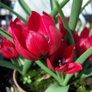 Тюльпан Lilliput, , 18.00 грн., 0109, , Тюльпан карликовый