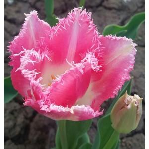 Тюльпан Lingerie, , 19.20 грн., 0100, , Бахромчатые