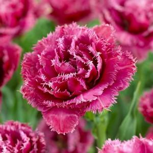 Тюльпан Mascotte, , 16.00 грн., 0102, , Бахромчатые