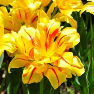 Тюльпан Monsella, , 16.00 грн., 0077, , Махровые ранние