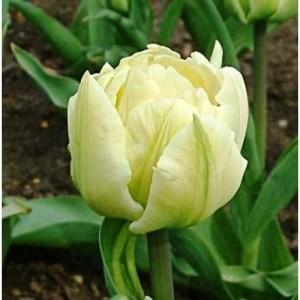 Тюльпан Montreux, , 12.00 грн., 0092, , Махровые поздние