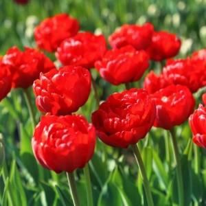 Тюльпан Robinho, , 13.00 грн., 0094, , Махровые поздние