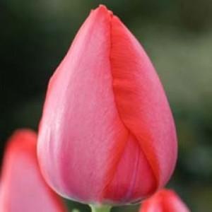 Тюльпан Trick, , 10.00 грн., 0071, , Дарвиновы гибриды