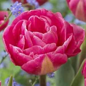 Тюльпан Vogue, , 13.00 грн., 0081, , Махровые ранние