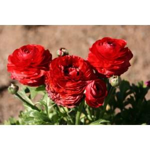 Лютик Double red, , 9.00 грн., 0141, , Лютик