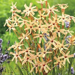 Иксия paniculata Eos, , 6.00 грн., 0140, , Иксия