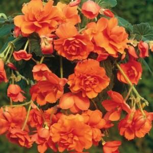 Бегония ампельная Cascade orange, , 37.30 грн., 00265, , Бегония ампельная