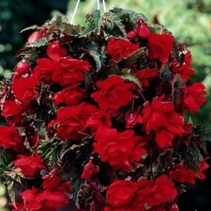 Бегония ампельная Pendula scarlet, , 35.30 грн., 00269, , Бегония ампельная