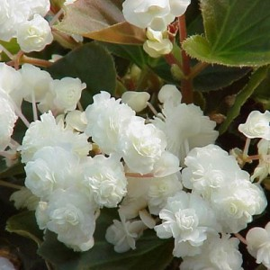 Бегония ампельная Cascade white, , 37.00 грн., 00267, , Бегония ампельная