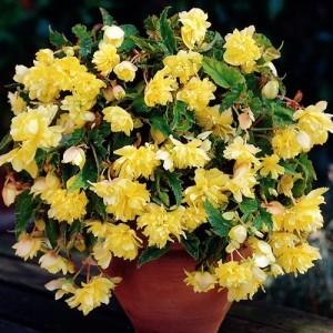 Бегония ампельная Cascade yellow, , 37.30 грн., 00268, , Бегония ампельная