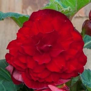 Бегония махровая Double dark red, , 28.50 грн., 00271, , Бегония махровая
