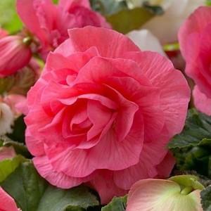 Бегония махровая Double pink, , 28.50 грн., 00272, , Бегония махровая