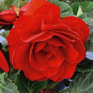 Бегония махровая Double scarlet, , 28.50 грн., 00274, , Бегония махровая