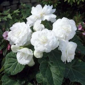 Бегония махровая Double white, , 28.50 грн., 00275, , Бегония махровая