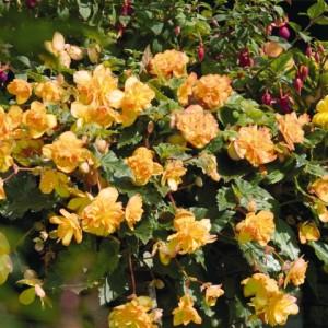Бегония иллюмината Illumination apricot, , 41.20 грн., 00277, , Бегония иллюмината