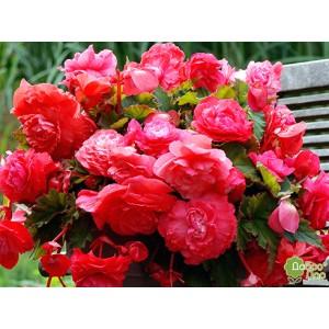 Бегония ампельная Pendula pink, , 31.00 грн., 34567, , Бегония ампельная
