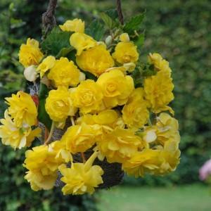 Бегония ампельная Pendula yellow, , 35.30 грн., 00270, , Бегония ампельная