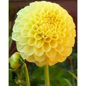 Георгина помпонная Deepest Yellow, , 37.50 грн., 45678, , Георгина помпонная