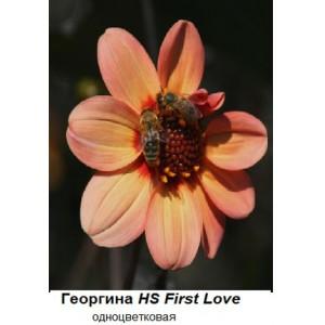 Георгина одноцветковаяHS First Love, , 46.00 грн., 56909, , Георгина одноцветковая