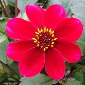 Георгина одноцветковаяHS Flame, , 62.00 грн., 8734, , Георгина одноцветковая