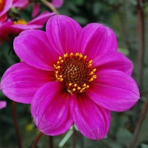 Георгина одноцветковаяHS Juliet, , 46.00 грн., 8732, , Георгина одноцветковая