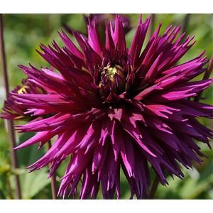 Георгина кактусовая, крупноцветковая Kenora Macop-B, , 61.30 грн., 00253, , Георгина кактусовая, крупноцветковая