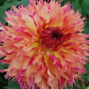 Георгина кактусовая, крупноцветковаяMyrtle's Folly, , 52.50 грн., 00254, , Георгина кактусовая, крупноцветковая
