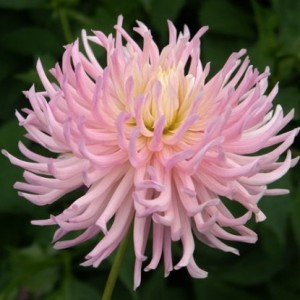 Георгина кактусовая, крупноцветковая Popular Guest, , 66.00 грн., 8764, , Георгина кактусовая, крупноцветковая