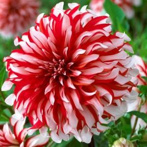Георгина кактусовая, крупноцветковая Red & White Fubuki, , 51.30 грн., 00255, , Георгина кактусовая, крупноцветковая