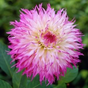 Георгина кактусовая, крупноцветковая Snoho Diane, , 52.50 грн., 00256, , Георгина кактусовая, крупноцветковая