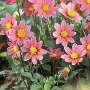 Георгина декоративная, низкорослаяTop Mix pink, , 65.50 грн., 00251, , Георгина декоративная, низкорослая