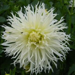 Георгина кактусовая, крупноцветковая Tsuki-yori-noshisha, , 53.80 грн., 00257, , Георгина кактусовая, крупноцветковая