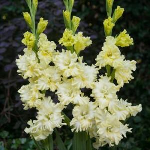 Гладиолус Lemon Frizzle, , 9.00 грн., 54309, , Гладиолусы
